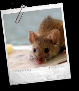 ratonDomestico