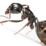 hormiga negra común